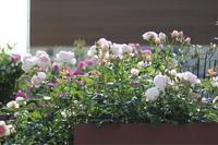 ヘリテージ2019と挿し木のヘリテージ - my small garden~sugar plum~