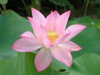 蓮の花その2 - しらこばとWeblog