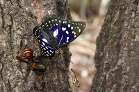 オオムラサキ3日連続・・で挑戦 - 蝶と自然の物語
