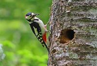 アカゲラの子育て。 - 季節の野鳥~Wildbirds archives