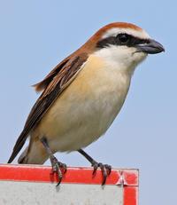 看板アカモズ。 - 季節の野鳥~Wildbirds archives