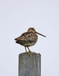 人工物止まり。 - 季節の野鳥~Wildbirds archives