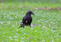 公園のカラス。 - 季節の野鳥~Wildbirds archives