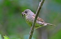 餌運び。 - 季節の野鳥~Wildbirds archives