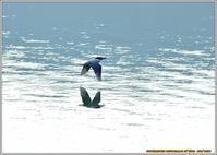 ダム湖のヤマセミ(2019)-2 - 野鳥の素顔 <野鳥と日々の出来事>