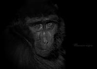 クロザル:Celebes Macaque - 動物園の住人たち写真展(はなけもの写眞店)
