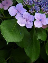 額咲き紫陽花 - park diary