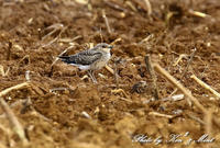 南の島1日目「ツバメチドリ」さん~Σ^) - ケンケン&ミントの鳥撮りLifeⅡ