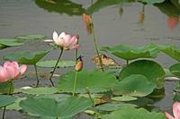 蓮花にヨシゴイ - barbersanの野鳥観察