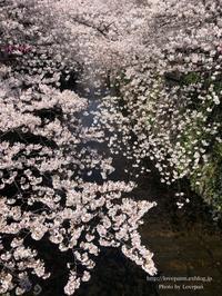 目黒川のお花見 - Lovepan