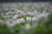 じゃがいもの花ざかり - ekkoの --- four seasons --- 北海道