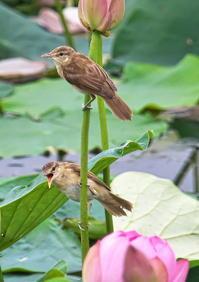 オオヨシキリ - くまさんの鳥撮り