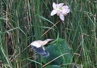 ヨシゴイ - くまさんの鳥撮り