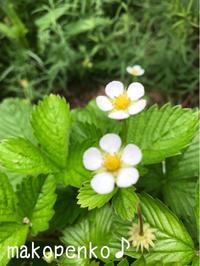 お庭の花々と本日シリーズ♪ - まこぺんこ's  WORLD      のんびり安曇野ぐらし♪