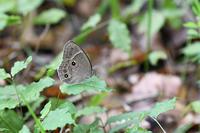 北摂のクロヒカゲモドキ - 蝶と自然の物語