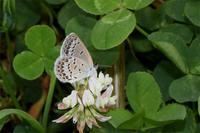 シルビアシジミ - 蝶と自然の物語