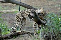 チーターを愛でる - 動物園へ行こう