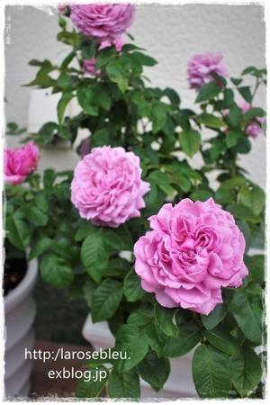 'ル・シエル・ブルー'の開花 - La rose 薔薇の庭