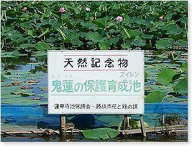 天然記念物の鬼蓮蓮花寺池にて -