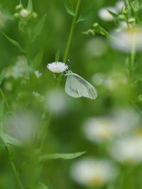 ヒメシロチョウ - 自然を楽しむ