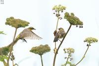 ツメナガセキレイの空中給餌 - 野鳥公園