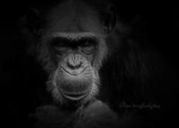 チンパンジー:Chimpanzee - 動物園の住人たち写真展(はなけもの写眞店)