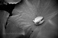 白鷺公園の蓮 - mglss studio photography blog