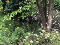 シャラの木が花盛り - 安曇野建築日誌