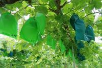 ご予約開始は7月末予定です。 - ~葡萄と田舎時間~ 西田葡萄園のブログ