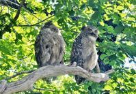旭川旭山動物園でシマフクロウ、シロフクロウを見てきました。 - バードカラー