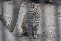 2019/05/03-05 ノボシビルスク動物園17 ネコとヤギ・ヒツジの仲間 - 墨色の鳥籠