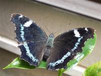 蝶の産卵から羽化まで - しらこばとWeblog