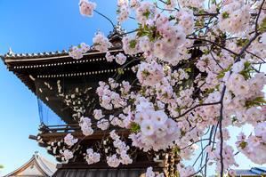 桜咲く京都2019 遅咲き桜の咲く妙蓮寺 - 花景色-K.W.C. PhotoBlog