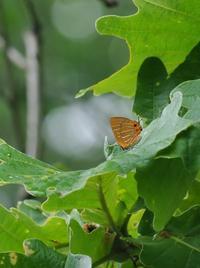 カシワの疎林にて - 蝶超天国