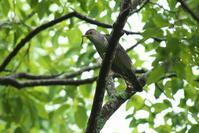 初撮りのホトトギス - 近隣の野鳥を探して