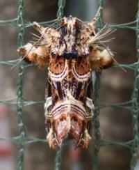 #チョウ目『紫褄切夜盗蛾』 Callopistria juventina - 自然感察 *nature feeling*
