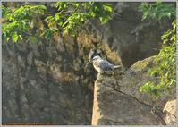 ダム湖のヤマセミ(2019)-3 - 野鳥の素顔 <野鳥と日々の出来事>