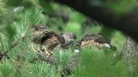 ツミ三兄弟とお母さん - Life with Birds 3
