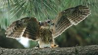 ツミ幼鳥が大きな羽根を拡げた! - Life with Birds 3