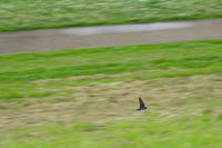 燕 大和川 大阪府内 2019年2月下旬 - 大和川野鳥撮影日記 大阪府内限定  絶好の場面を狙って撮影