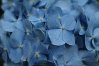 雨の日の紫陽花(豊平公園) - ワイン好きの料理おたく 雑記帳