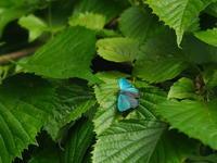 メスアカミドリ、エゾミドリなど - 自然を楽しむ