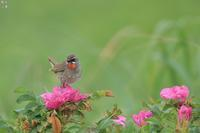 ハマナスの花にのったノゴマ - 野鳥公園