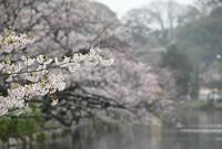 3月に出会った鳥さんたち@上野公園と不忍池② - Buono Buono!