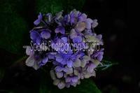 雨紫陽花 - スポーツカメラマン国分智の散歩の途中で
