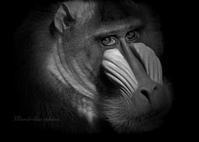 マンドリル:Mandrill - 動物園の住人たち写真展(はなけもの写眞店)