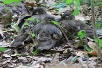その後のオシドリ母子 - 今日の鳥さんⅡ