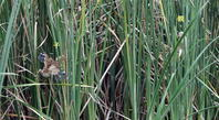 ヨシゴイの給餌その2(早い者勝ち否~~~) - 私の鳥撮り散歩