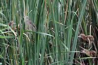 ヨシゴイの給餌その3(巣の近くの子へ) - 私の鳥撮り散歩