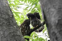 アオバズク巣立ち雛のエンゼルポーズ - 鳥さんと遊ぼう 仮設